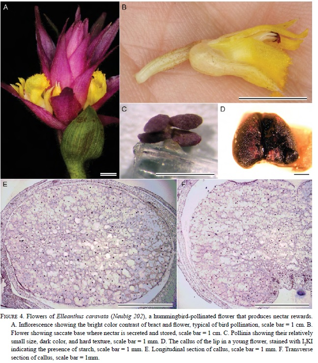 Nectary structure and nectar in Sobralia and Elleanthus (sobralieae ...