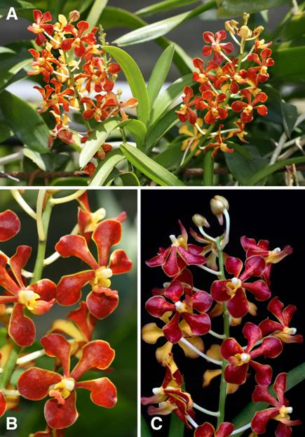 c2813d8060 Figure 4  Vanda mariae occurs in various tones of red and orange.  Photographs by Nelson Geraldino (A