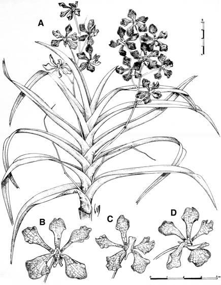ca9f3d87c6 The genus vanda (orchidaceae  aeridinae) in the philippines  two new ...