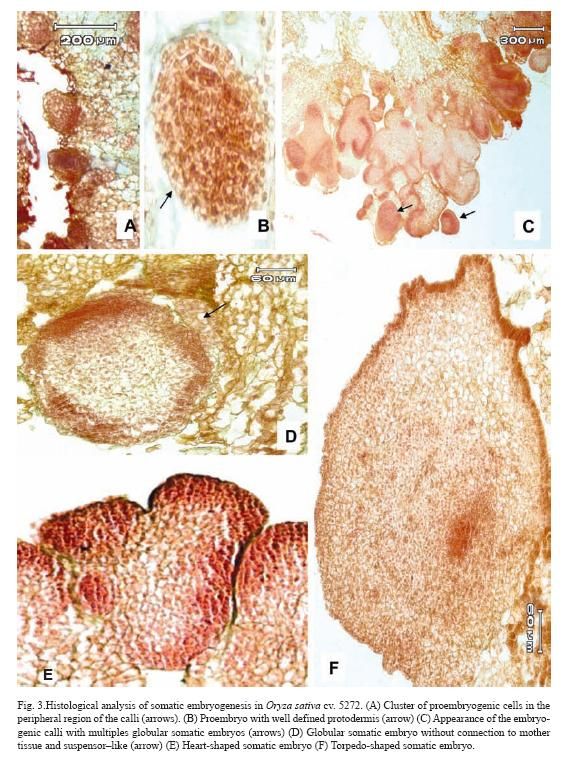 histology of somatic embryogenesis in rice  oryza sativa