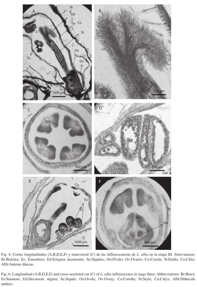 Morfología, anatomía, ontogenia y composición química de metabolitos ...
