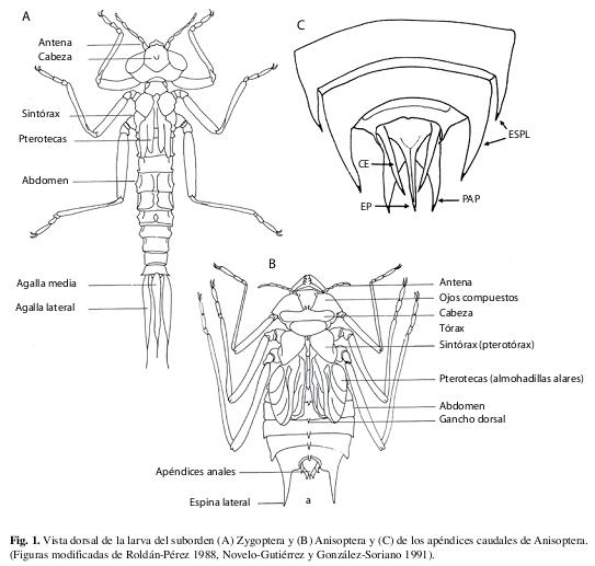 Capítulo 5: Odonata