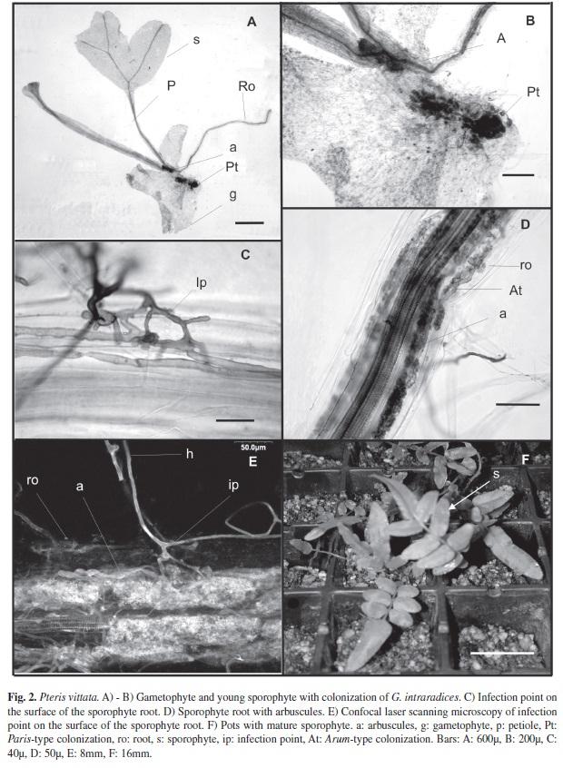 fern sporophyte 20x