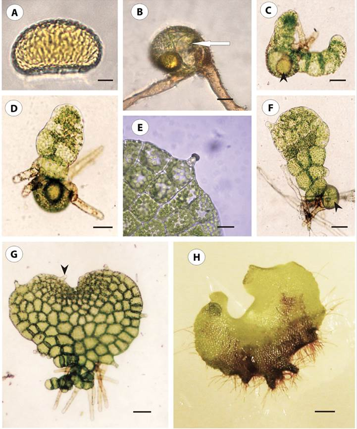 Sexual morphogenesis phase of the epiphytic ferns Microgramma ...